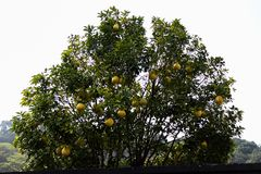 Large yellow fruit Pomelo grows on a tree. A tree with large, juicy, ripe fruits. Big beautiful Pomelo stock image