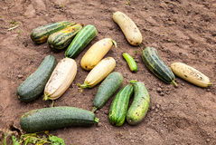 Large yellow and green zucchini Royalty Free Stock Images