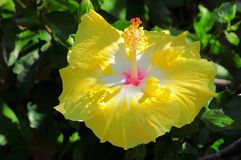 Large yellow hibiscus flower. Very large yellow hibiscus flower approximately the size of a dining plate. Photographed in Butterfly World in South Florida stock photos