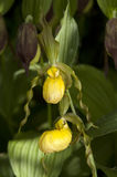Large yellow lady`s slipper Cypripedium pubescens Stock Images