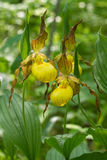 Large Yellow Lady's-slippers. Found at Itasca State Park in northern Minnesota in June Royalty Free Stock Photography