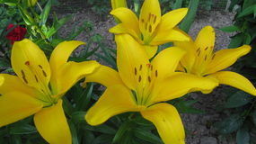 Large yellow lilies Stock Images