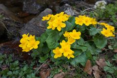 Large yellow marsh marigold flowers, blooming near the creek. Carpathian mountains. royalty free stock photography