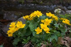 Large yellow marsh marigold flowers, blooming near the creek. Carpathian mountains. stock photography