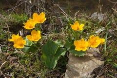 Large yellow marsh marigold flowers, blooming near the creek. Carpathian mountains. royalty free stock photo