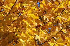 Large yellow or orange tree leaves Stock Photo
