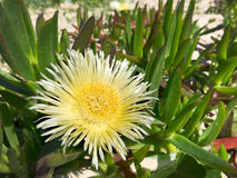 Large yellow pigface. Carpobrotus edulis is a creeping, mat-forming succulent growing on coastal sand dunes in Australia. It grows up to 6inches in diameter Royalty Free Stock Image