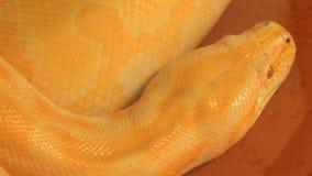 Large yellow python stock video