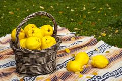 Large and yellow quinces in a basket. stock photo