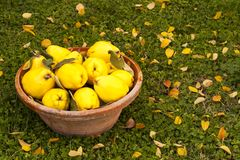 Large yellow quinces in a clay bowl. royalty free stock image