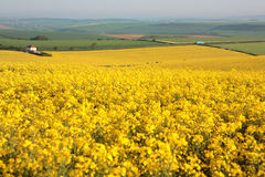 Large yellow field in Dorset in the Spring stock photos