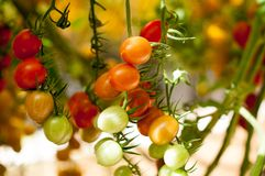 Close up yellow and red cherry tomatoes hang on trees growing in greenhouse in Israel. Large yellow and red cherry tomatoes hang on trees growing in greenhouses Stock Photos