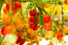 Close up yellow and red cherry tomatoes hang on trees growing in greenhouse in Israel. Large yellow and red cherry tomatoes hang on trees growing in greenhouses Stock Image
