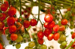 Close up yellow and red cherry tomatoes hang on trees growing in greenhouse in Israel. Large yellow and red cherry tomatoes hang on trees growing in greenhouses Stock Photo