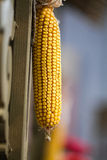 Large Yellow ripe ear of corn Royalty Free Stock Photo