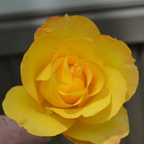 Large Yellow Rose, Single. A single yellow rose taken in the summer Royalty Free Stock Photos