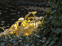 Large yellow shrub leaves in the rays of the sun, impression of sunlight stock photos