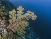 Large yellow soft coral tree in deep water Royalty Free Stock Photography