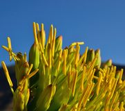 Large yellow stamens of agave flowers on blue sky Royalty Free Stock Images