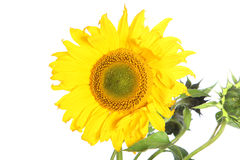 Large yellow sunflower Stock Images