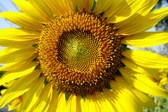 Large yellow sunflower Stock Photos