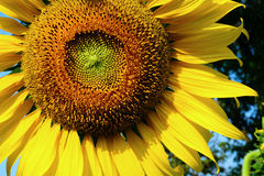 Large yellow sunflower Stock Photography