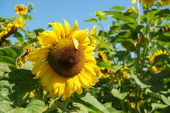 Sunflower head. Large yellow sunflower head against green leaves and clear blue sky Royalty Free Stock Photos