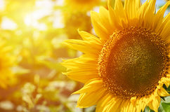 A large yellow sunflower macro photo. Food production, rural life.  Royalty Free Stock Image