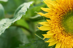 A large yellow sunflower macro photo. Food production, rural life.  Stock Photo