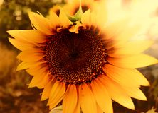 Sunflower close-up at sunset royalty free stock photo