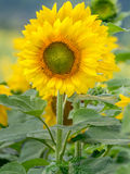 Summer sunflower royalty free stock images