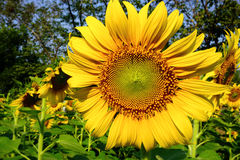 Large yellow sunflower Royalty Free Stock Photo