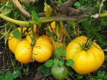 Large yellow tomatoes, beautiful autumn nature, details and close-up stock image