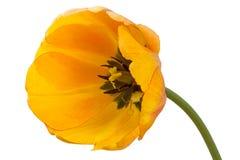 Large yellow tulip on white Stock Image