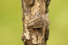 Large-yellow underwing moth, Noctua pronuba. Midlands, UK Royalty Free Stock Photo