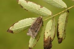 Large-yellow underwing moth, Noctua pronuba. Midlands, UK Royalty Free Stock Photography