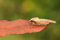 A Large Yellow Underwing Moth Noctua pronuba perched on a leaf. stock images