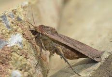 Large Yellow Underwing Moth Royalty Free Stock Photo