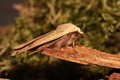 Large yellow underwing  moth. Stock Photography