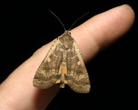 Large Yellow Underwing / Noctua pronuba Stock Image