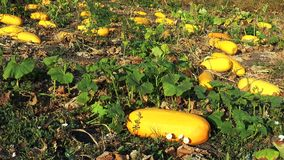 Large yellow zucchini in the garden stock footage
