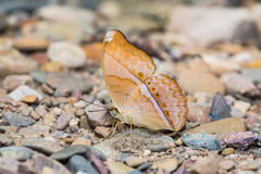 Large Yeoman butterfly Stock Photo