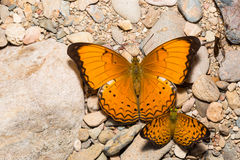 Large yeoman and small leopard butterfly Stock Image