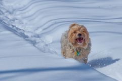 Large yorshire terrier pure breed running / playing happily through a path in the snow during winter stock image