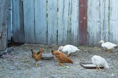 Large young chickens walk around the yard.  stock images