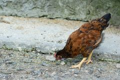 Large young chickens walk around the yard. Large young chickens walk around the yard stock photography