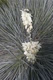 Yucca Plant in bloom. Large Yucca Plant with beautiful blooms royalty free stock photo