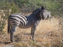 Large zebra staring towards the photographer on safari in Moremi National Park, Botswana, Africa. Large zebra surrounded by savannah and bush staring towards the Royalty Free Stock Photos
