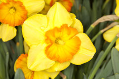 Larged-cupped Daffodil -Delebes- (Narcissus sp) Stock Image