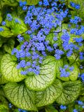 Largeleaf Brunnera Forget-Me-Not Tiny Blue Flower Heart Leaf. This shade plant with blue flowers and heart-shaped leaves is Largeleaf Brunnera. Also called stock photo